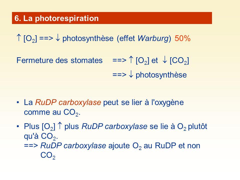 6. La photorespiration  [O2] ==>  photosynthèse (effet Warburg) 50% Fermeture des stomates ==>  [O2] et  [CO2]